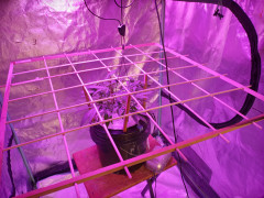 SCROG in Place